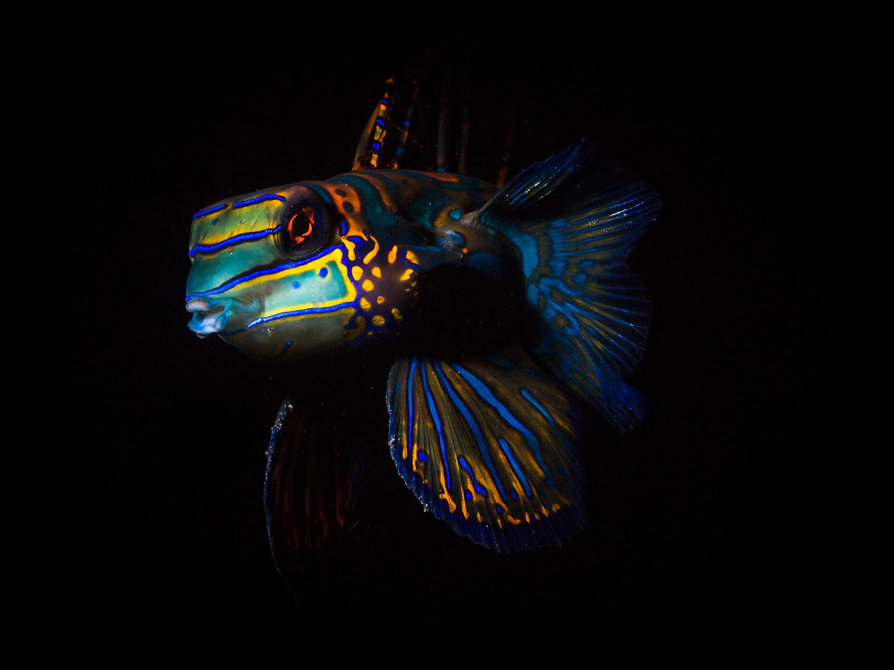 Mandarin fish photo by underwater photographer Matt McGee