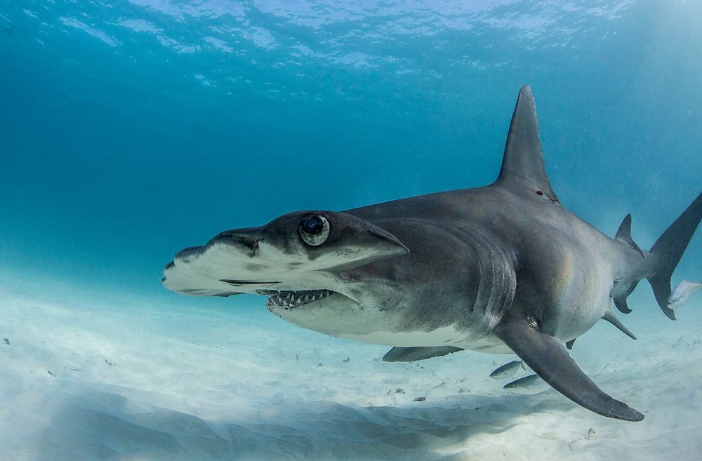 Matt McgGee photographs a great hammerhead shark in Bimini