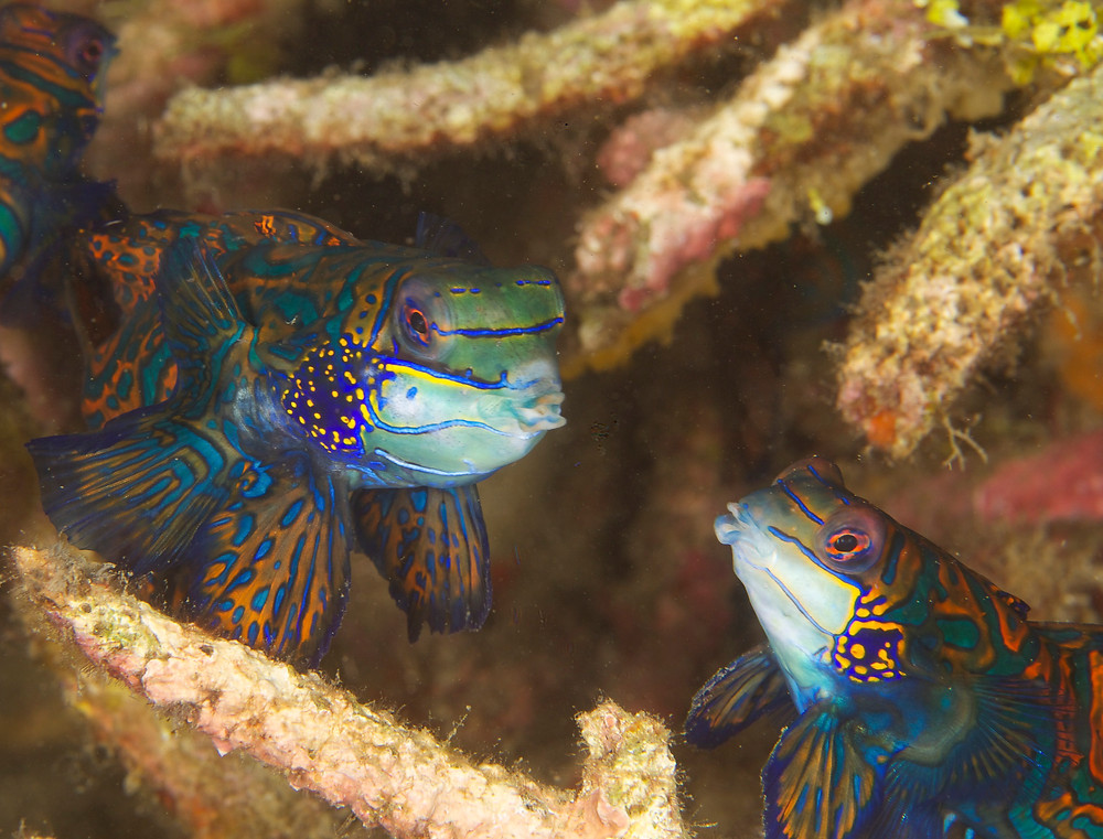 Mandarin fish photography tips by Matt McGee