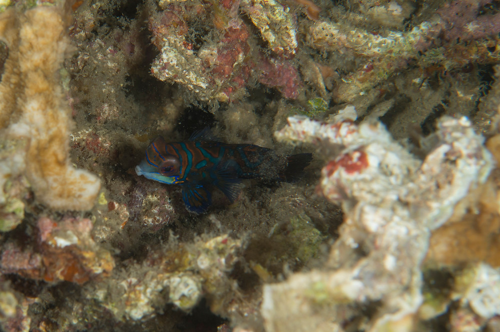 Mandarin fish hiding in coral