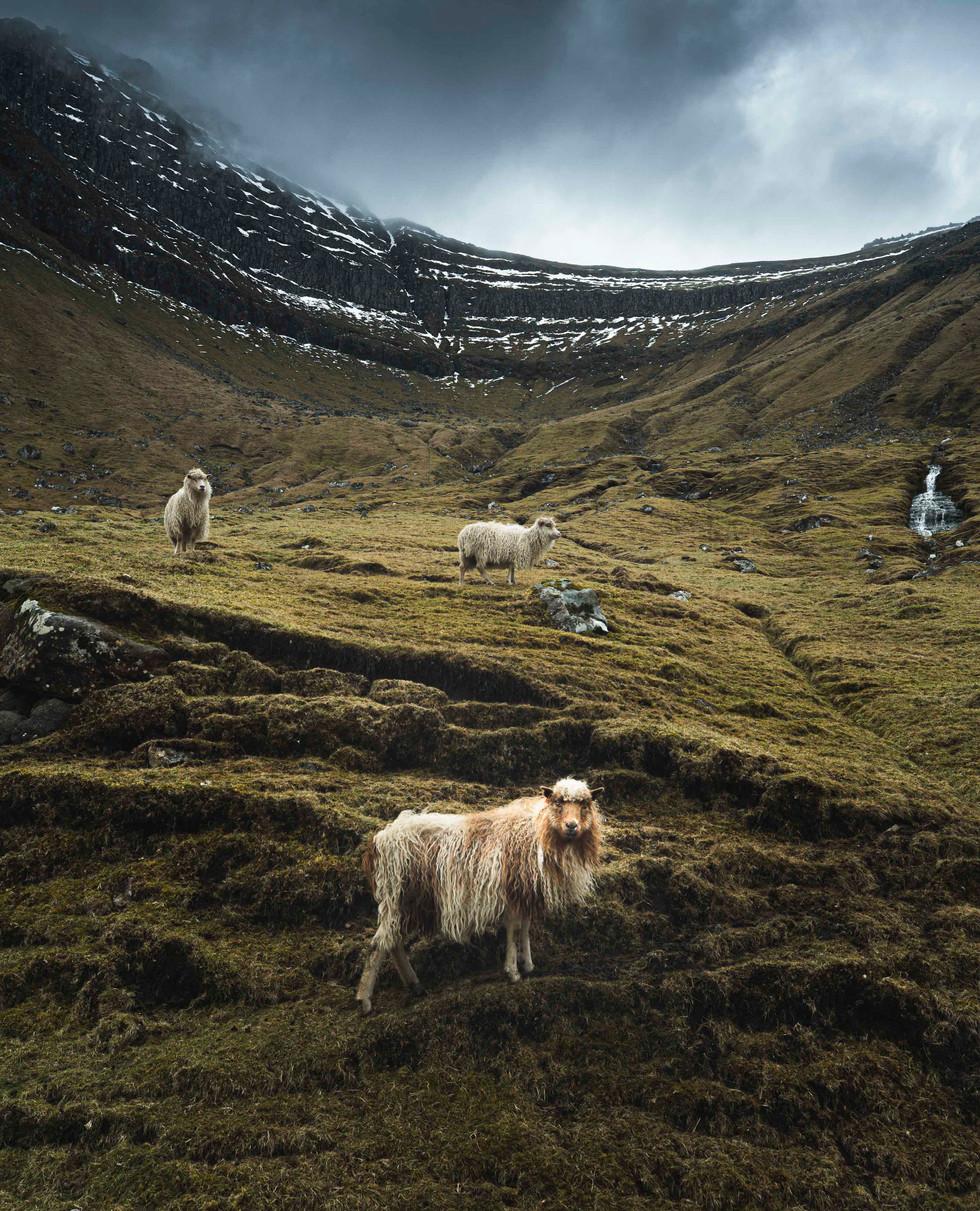 Sheep on Kalsoy Island in the Faroe Islands