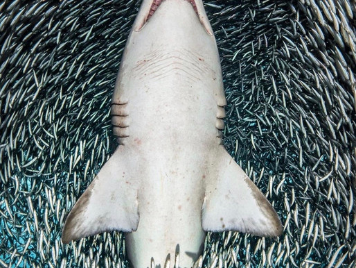 Talking  shark Photography With tanya houppermans