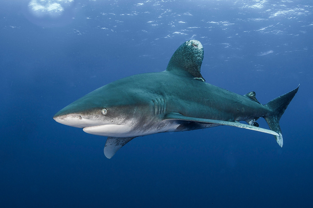 Oceanic white tip shark photographed by underwater photographer Matt McGee