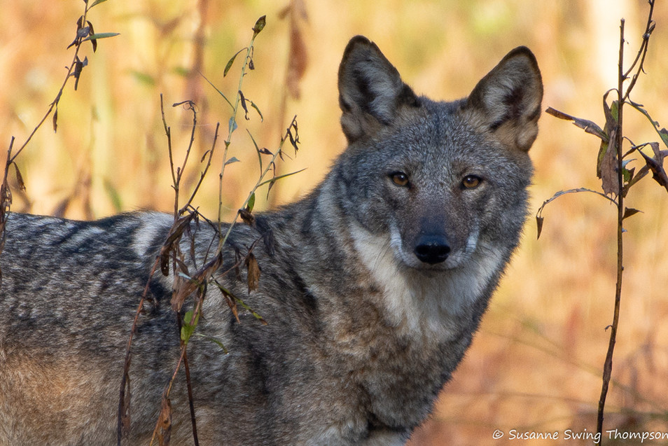 Coyote, Cochran Scholls, Chattahoochee River