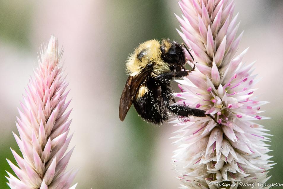 Bumblebee on Celosias