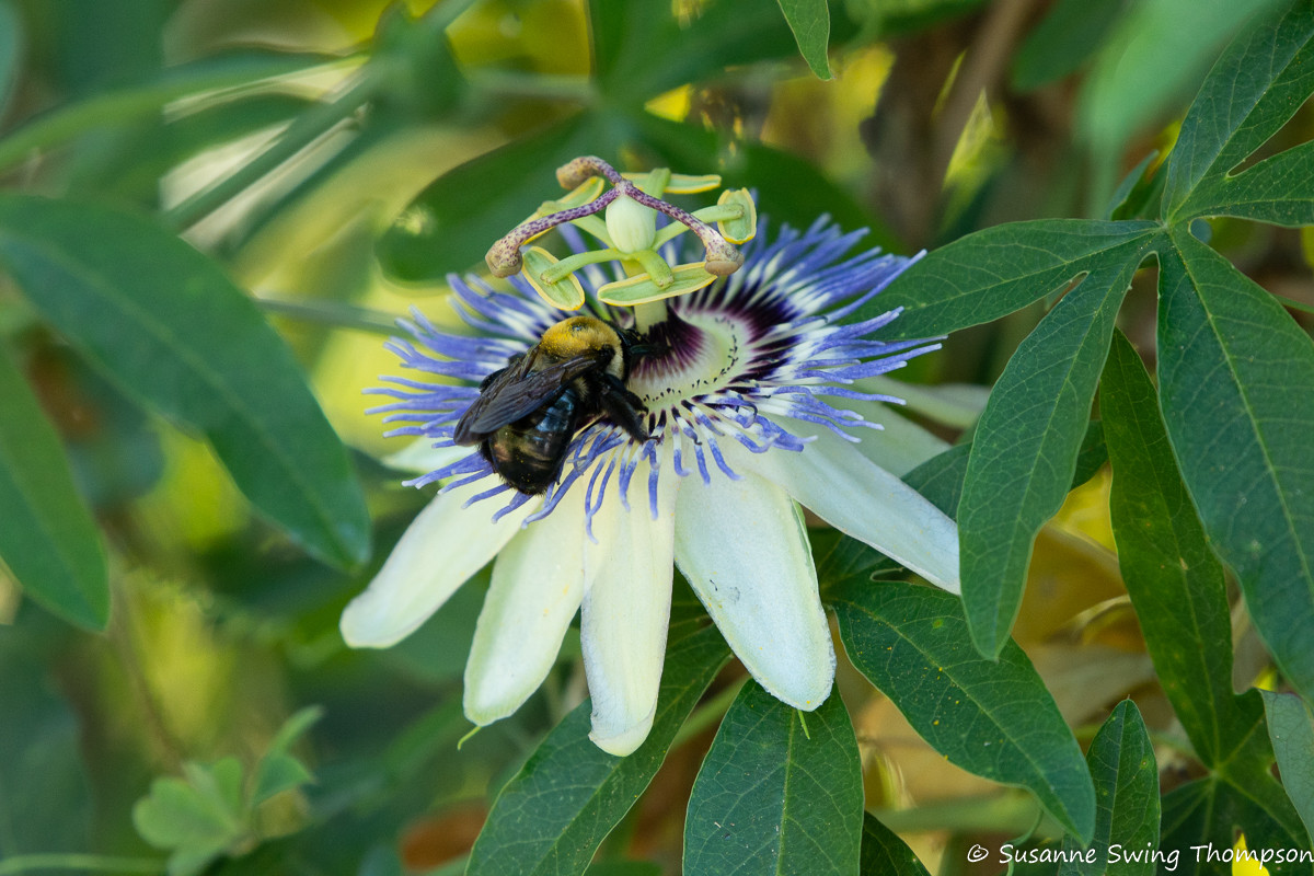 May Pop/Passionflower
