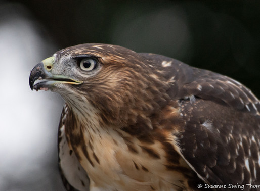 Red-Tailed Hawk | Held Moment