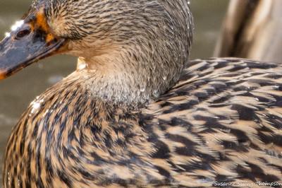 Female Mallard, close-up
