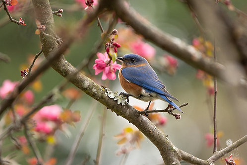 Bluebird Amidst Dogwood Blossoms note card