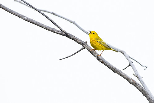 Yellow Warbler note card, songbird note card