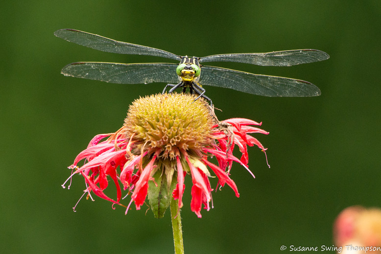 Dragonfly on Coneflower