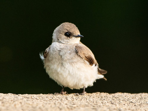 Baby Rough-winged Swallow note card