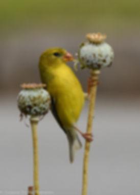 AG -- Peeling Poppy Seed Pod.jpg