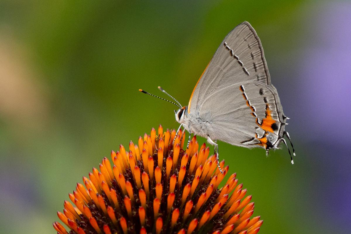 Grey Hairstreak Butterfly on Echinacea