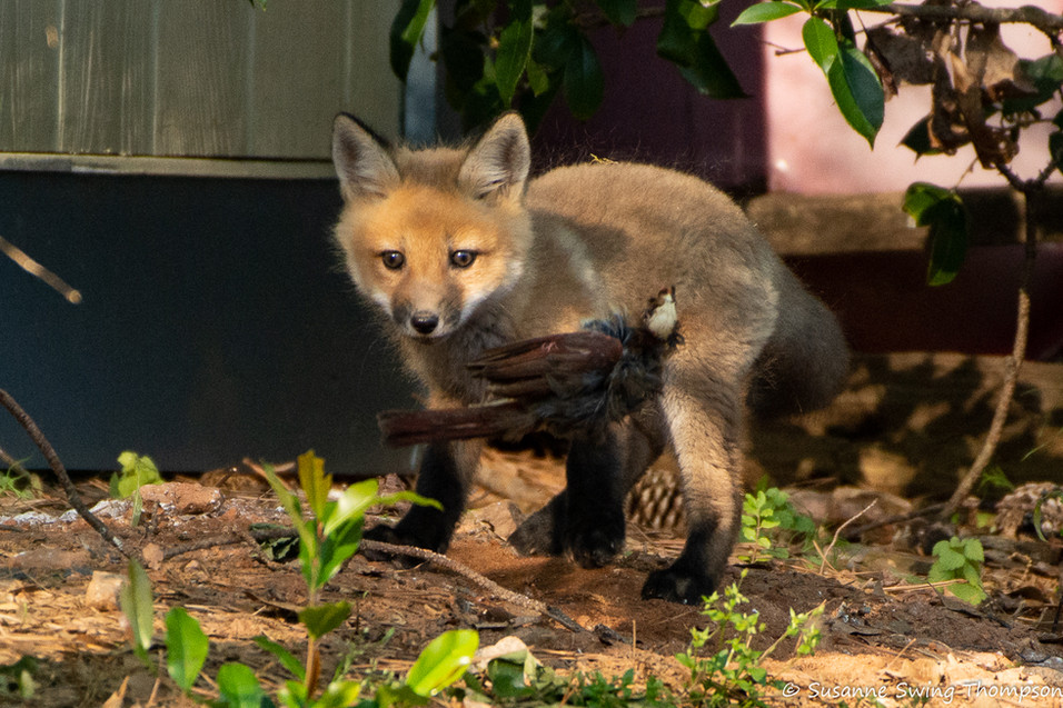 Red Fox kit tossing its meal