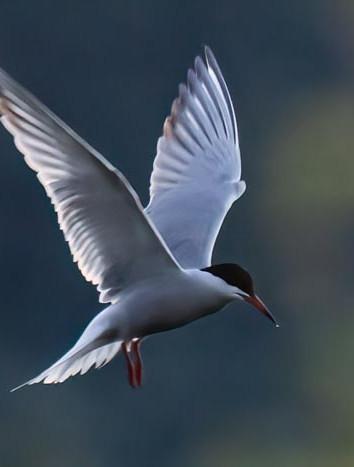 Fish tern