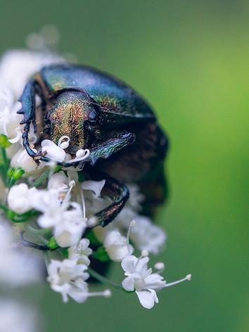 Green Gold Beetle