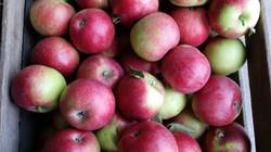 Apple season begins
