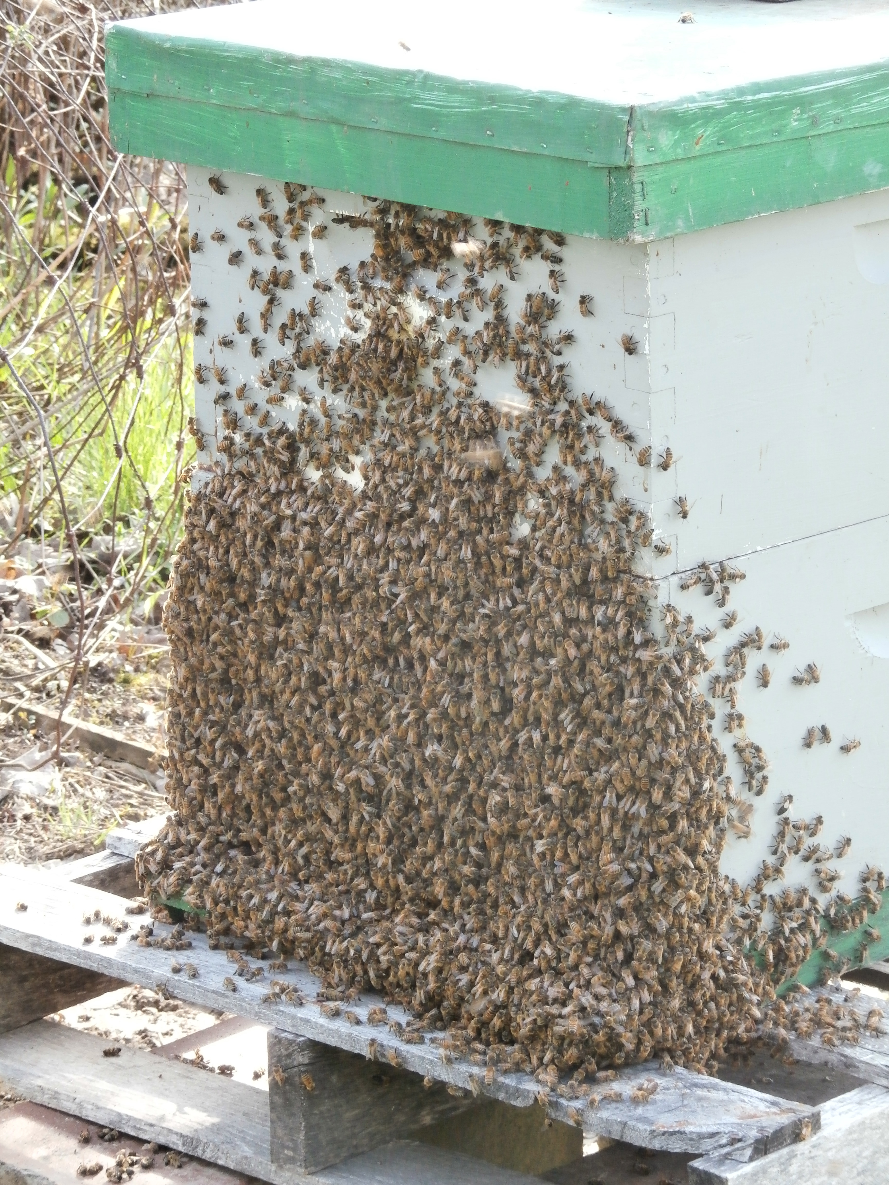 Honey Bees Ready to work