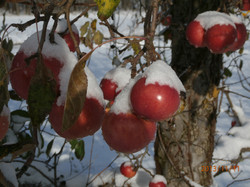 Snow on the Apples