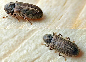 Powder Post Beetles