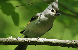 Tufted Titmouse.png