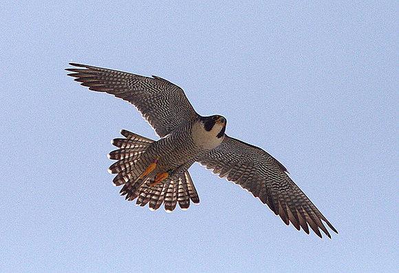 Peregrine Falcon Friend