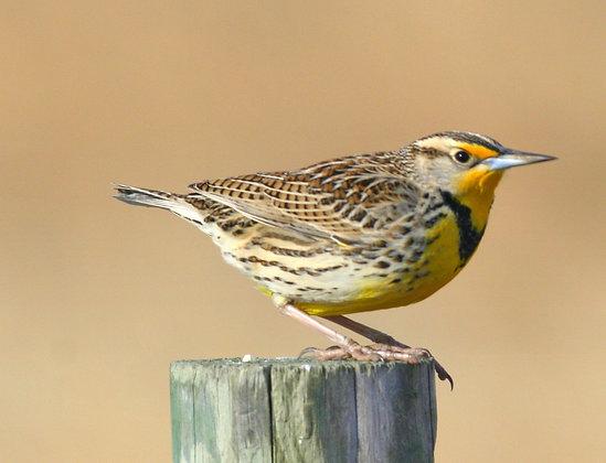 Western Meadowlark Friend