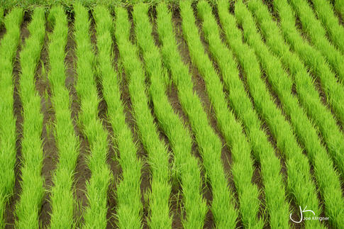 Rice field green