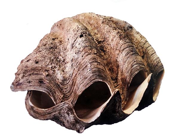 Concha marinas- bivalvo