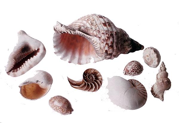Conjunto de conchas marinas