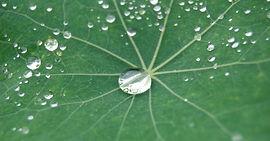 lotusleaf.jpg