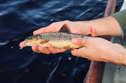 A guest releasing a lovely wild Brown Trout
