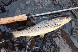 A fine wild Brown Trout from the hill Loch