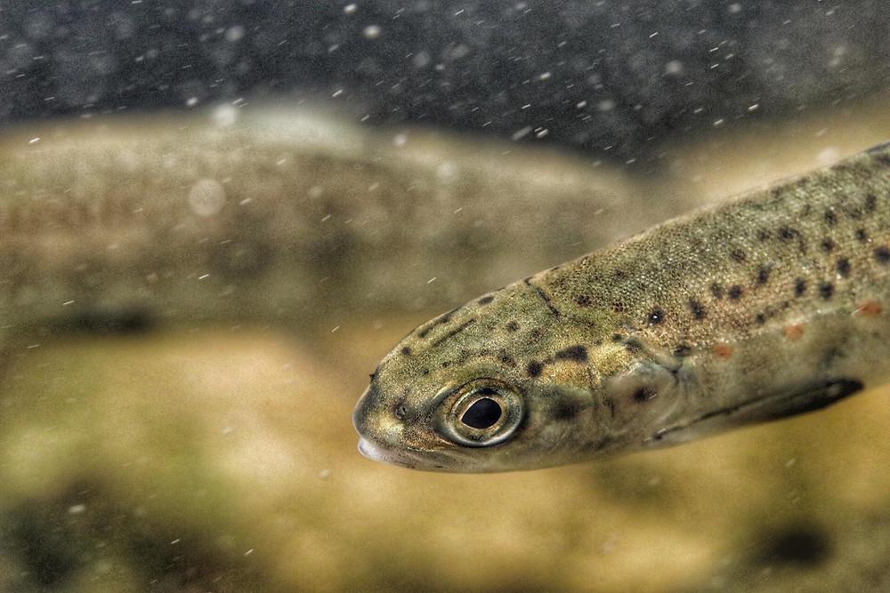 Salmon smolt