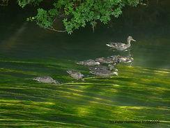River Windrush May 2009.jpg