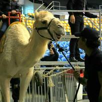 GB Circus exploited camel.jpg