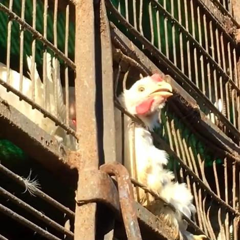 Chicken Death Truck Photo Lee Gitter.jpg