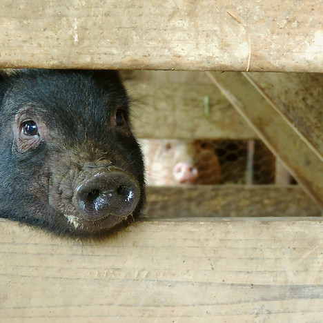 Pig Preserve Piglets.jpg