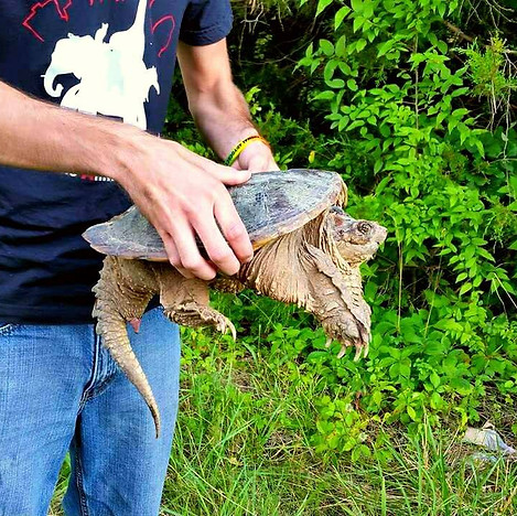 Rescued Snapping Turtle.jpg