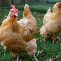 Rescued Hens Photo Lee Gitter.jpg