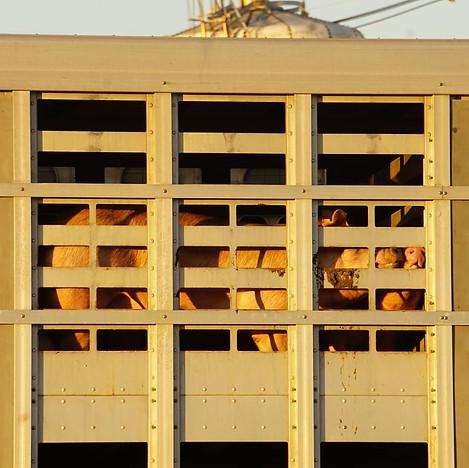 Pig Death Truck.jpg