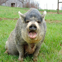 Lulu Pig Preserve.jpg