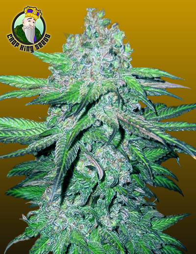 Trainwreck seeds for sale