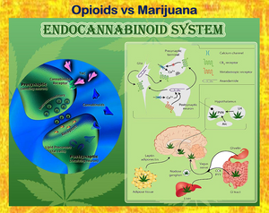 marijuana vs opioids for pain