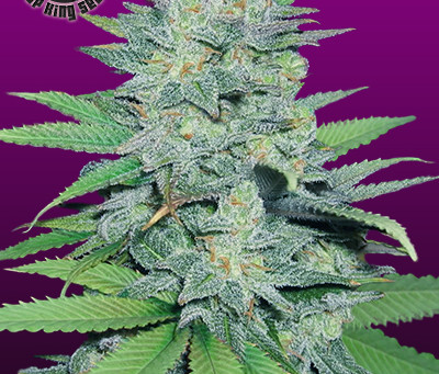 Green Crack Seeds for Sale | Green Crack