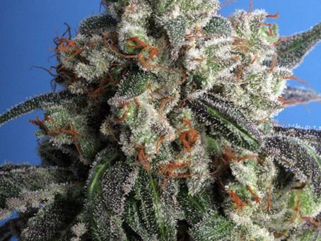 Burmese Kush Marijuana Seeds for sale | Burmese Kush Seeds