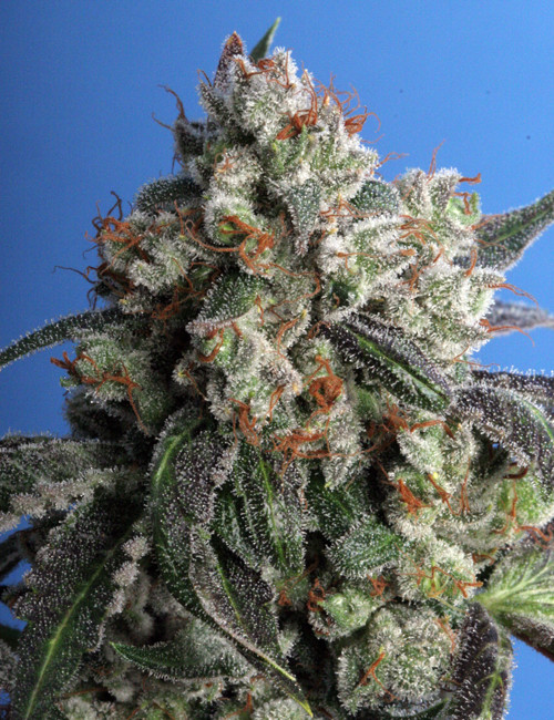 Burmese Kush Marijuana Seeds for sale
