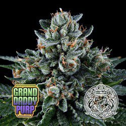 Grand Daddy Purple Marijuana seeds for sale | Grand Daddy Purple