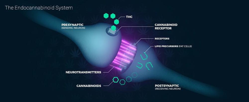 CBD & THC - Endocannabinoid system